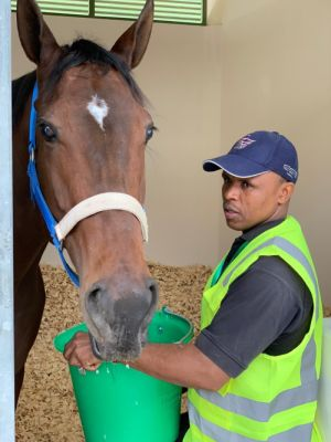 Bella Fever, enjoying a bit to eat in her Saudi stable, with handler Shorty Feni.